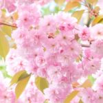 じゅん散歩で紹介の桜のロールケーキ(ランギャール)いつ買える?